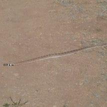 desert-snake