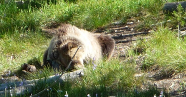 Grizzly Bear Rolling