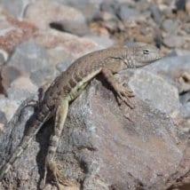 desert-lizard