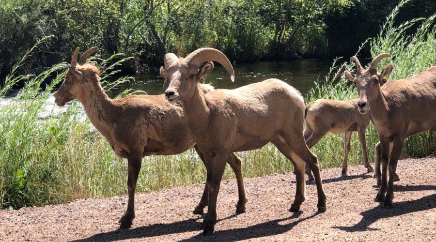 Colorado Trail Mountain Sheep