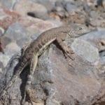 NM Lizard