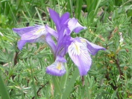 more-banded-peak-flowers