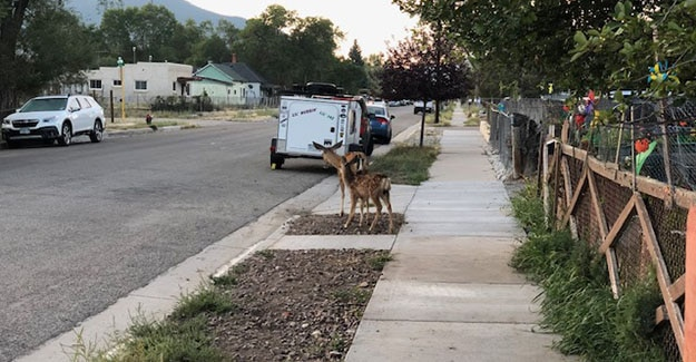 Deer in Salida on the Colorado Trail