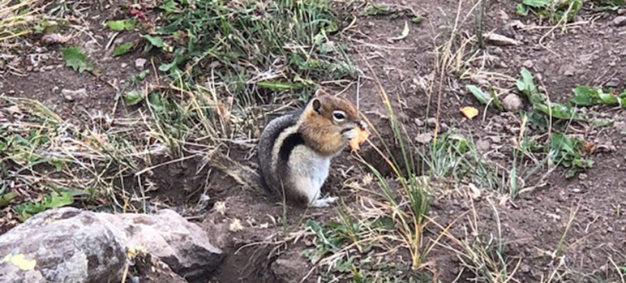 Chipmunk with Apple Trip on Trail