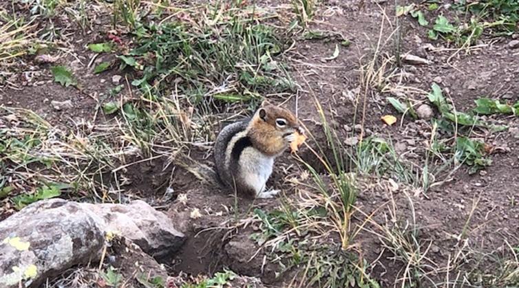 Chipmunk with Apple Trip on Trail