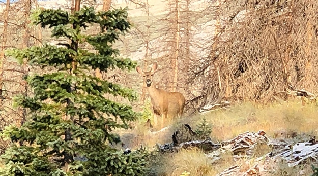 Mule Deer While Hiking in Valley before Saddle