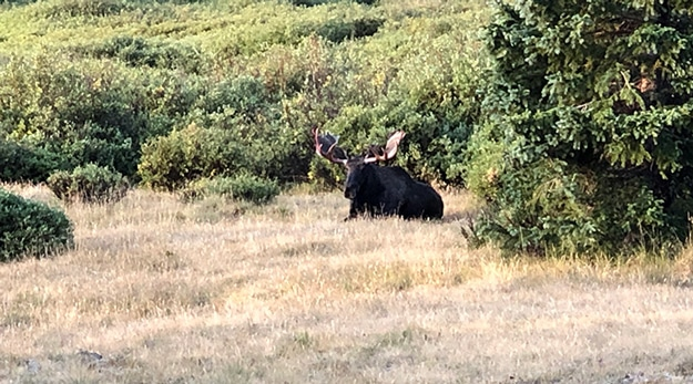 Resting Bull Moose in Valley before saddle