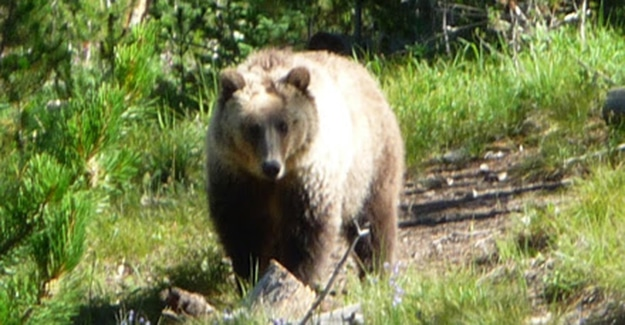 Grizzly Bear Facing Me