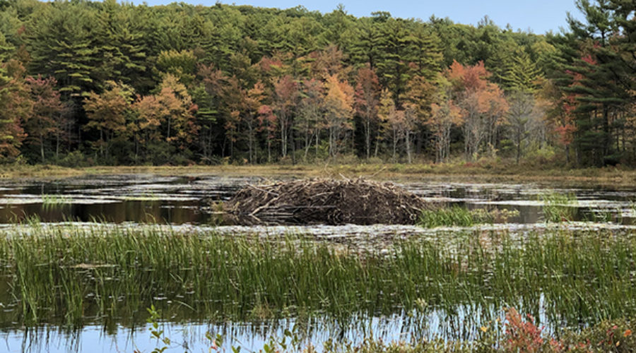 Beaver Dam on New England Trail FEATURE