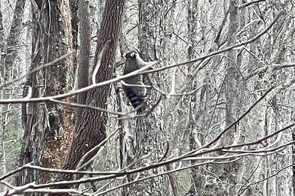 Raccoon up a tree on the Benton Mackaye Trail with Average Hiker